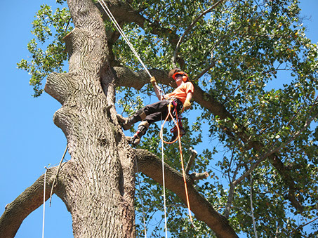 A man climbing up tree with Ropes in London Ontario